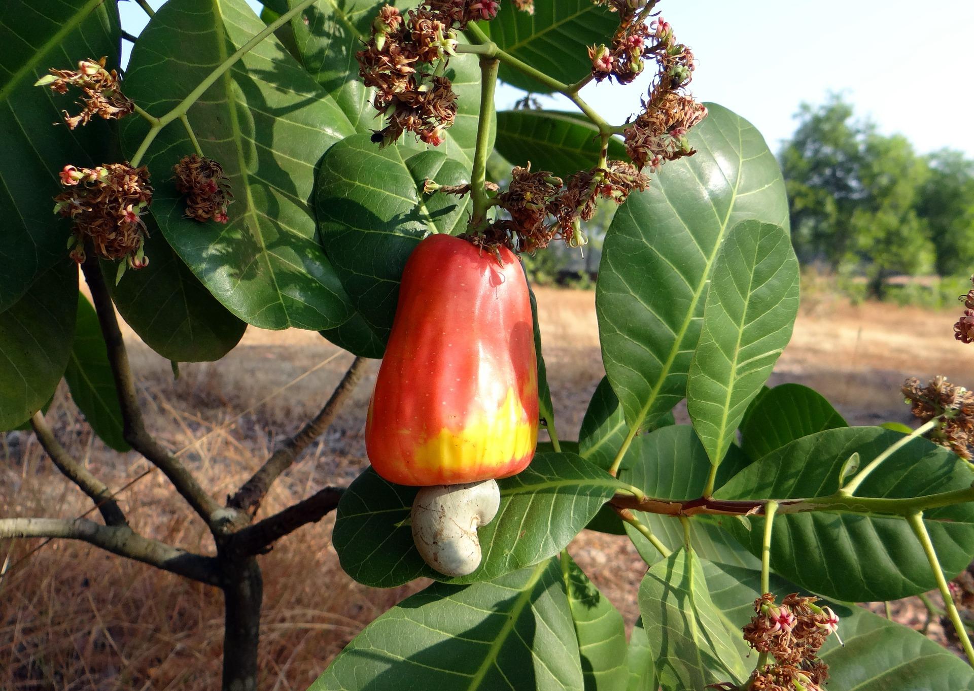 Cashew eli munuaispuun hedelmä